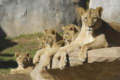 eenie, meenie, miny, mo...and mom (ucumari photography) Tags: animal mammal zoo nc north january lion carolina cubs lioness 2015 specanimal specanimalphotooftheday ucumariphotography dsc1810
