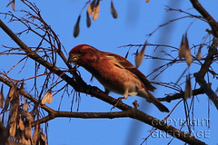 Purple Finch (gregpage1465) Tags: male bird college nature photography star photo texas greg purple wildlife lowlands picture finch page lone purplefinch the gregpage haemorhouspurpureus