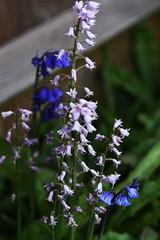 DSC_1133 (PeaTJay) Tags: flowers plants macro nature gardens fauna outdoors reading flora sigma micro closeups berkshire lowerearley nikond750