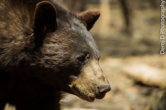 BlackBearMarked02 (1 of 1) (coldtrance) Tags: bear arizona black animal canon mammal outdoors zoo wildlife conservation blackbear canont3