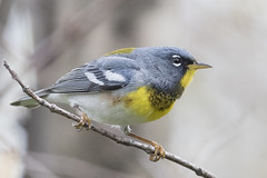 Northern Parula Warbler -Explored (Profiles of Nature) Tags: chicago illinois warbler explored northernparulawarbler