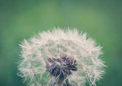 Make a Wish II (Gonza.M) Tags: flower nature colors dandelion wish