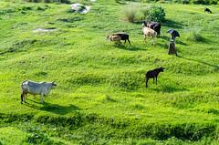 A man with his cow! (ashik mahmud 1847) Tags: man animal cow dailylife nikkor bangladesh d5100