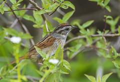 Swamp Sparrow (Jerry Ting) Tags: ohio oakharbor swampsparrow mageemarshwildlifearea