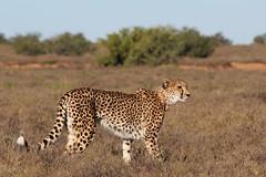Sibella (tschoun.) Tags: travel nature southafrica wildlife conservation safari cheetah samara sibella