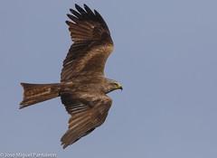 1-Muestrame el botn que llevas en tus garras Milanito!!Que es un milano?? Es un ave grande, pero no muy grande, que no es un buteo, ni un guila, ni un buitre ni un ratonero!! Realmente son cometas del cielo(C.M.P) (Cimarrn Mayor !!!7,000.000 DE VISITAS, GRACIAS!!) Tags: ordenfalconiformes familiaaccipitridae generomilvus milanonegro nombrecientficomilvusmigrans nombreeninglesblackkite lugardecapturasevilla sevilla espaa spain espagne europa europe ave bird oiseau vogel uccello pssaro  ptak  fgel lintu ptek ptica  cimarrnmayor panta josmiguelpantalen 7dmarkii canoneos7dmarkii canon7dmarkii naturaleza libertee telefoto700mm dominicano fauna libre libertad montaas