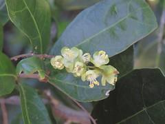 Cupaniopsis wadsworthii 6 (barryaceae) Tags: new plants gardens wales botanical coast rainforest harbour south north australian australia species regional coffs the australianrainforestplants ausrfps