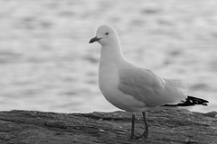 Silvergull in monochrome! (Merrillie) Tags: blackandwhite bird nature monochrome animal fauna photography nikon natural outdoor wildlife seagull gull australia nsw newsouthwales centralcoast woywoy silvergull d5500 nswcentralcoast centralcoastnsw