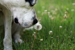Have a Dandy Day (csnyder103) Tags: rescue dog dof dandelion sniff petey pittie canonef70200f28lis canoneos7dmkii