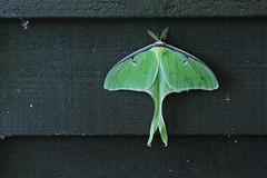 Luna Moth (MichaelStano) Tags: moth pittsboronc chathamcountync nikond700 nikon2470mmf28 lunaactias