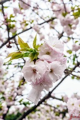 Osaka, Japan (April 2016) (H_E_L) Tags: japan japanese cherryblossom sakura osaka kansai hanami hel osakacastle