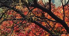 (ojoadicto) Tags: nature naturaleza otoo autum ramas tronco hojas leaves foliage artisticphotography