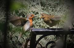 Slam Dunk! (ashperkins) Tags: robin erithacusrubecula europeanrobin fledgling graig northwales glanconwy ef100400mmf4556lisusm eos7d bbcwalesnature wingwednesday ashperkins