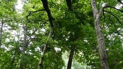 DSCN1426 (VerlynC) Tags: tree falling hickory
