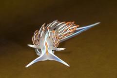 Hermissenda crassicornis (toryjk) Tags: nudibranch nudibranchia northerncalifornia norcal nudi hermissendacrassicornis hermissenda seaslug sea ocean pacificocean pacific tidepooling tidepool tidepools underwater underwatertidalzone