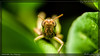 Grasshopper (kelvinj_funlab) Tags: macro nikon bugs malaysia tamron perlis kenkoextension d810 funlab nissini40 kelvinjong tamron90mmf28spdimacro11vcusd