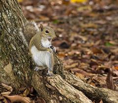 Squirrel (yoelisd2003) Tags: naturaleza tree nature florida outdoor parks mammals rodents omnivore backyardanimals