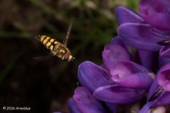 DSC_5220 - Zweefviegje - Hoverfly (Arnoldus1942) Tags: hoverfly zweefvlieg arnosync arnoshutter
