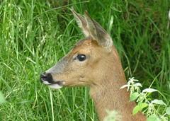 Roe Deer (RedCat09) Tags: roedeer britishwildlifecentre