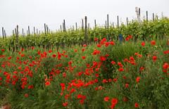 Oppenheim, Mohnblten im Weinberg (poppies in the vineyard) (HEN-Magonza) Tags: germany deutschland vineyard poppy weinberg rheinlandpfalz oppenheim mohn rhinelandpalatinate