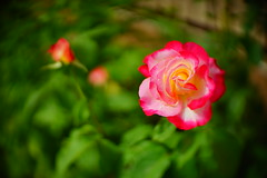 Just a simple rose (petrapetruta) Tags: colorful rose pink soft blur swirl freelens