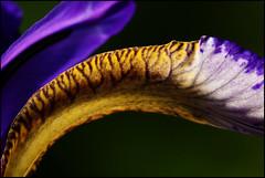Iris Macro 145/366 (tomcanon68) Tags: iris flower macro canon canon100mmmacro project366 canon40d canon100mm28ismacro