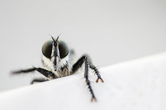 Robber fly (Johnidis) Tags: macro insect fly killer predator ambush robber