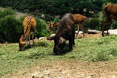 africam safari (jenswambach89) Tags: safari africam mexico pig outdoor