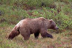 Griz_4H4A3463 (bud_marschner) Tags: alaska brownbear grizzlybear denalinationalpark