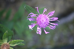 20-06-2016 013 (Jusotil_1943) Tags: 20062016 morada flor silvestre wildflowers