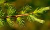 Tamarack (Larix laricina) (wackybadger) Tags: tree wisconsin branch tamarack usda usfs usforestservice usnationalforest larixlaricina chequamegonnicoletnationalforest ashlandcounty wisconsinstatenaturalarea nikond3300 nikon105mmf28gafsmacro11vr sna424 drylakesna