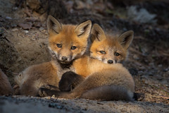 Fox siblings (JD~PHOTOGRAPHY) Tags: nature animal wildlife fox kits mammals foxes younganimals northamericanwildlife foxkits youngfoxkits
