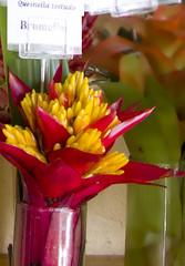Quesnelia testudo Bromeliad