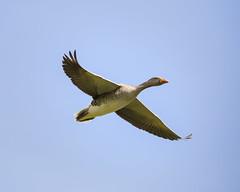 Greylag goose (Karen bullock photography) Tags: greylaggoose goose geese anseranser greylag sevenoaks kentwildlifetrust kent sevenoaksnaturereserve lakes gravelpits townparks waterbird