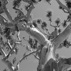 (Raphs) Tags: france villefranchesurmer planetree sycamore tree branches upwardsperspective clear sky blackandwhite monochrome leaves stem bark smooth bright raphs canoneos70d tamronspaf1750mmf28xrdiiildaspherical fv5