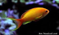 Lyretail Anthia Male (SausageArm) Tags: boy orange fish male water aquarium nikon marine aqua underwater tank salt salty aquatic reef reefs aquatics anthias lyretail d90 anthia 18105mm
