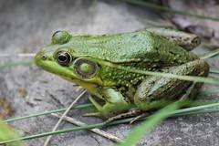 012 (historygradguy (jobhunting)) Tags: ny newyork animal amphibian upstate frog easton washingtoncounty