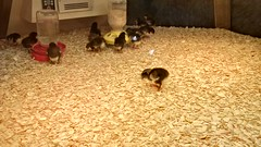 The Baby Chick Incubator Exhibit #5 (artistmac) Tags: chicago industry museum illinois south side science lakemichigan lakeshoredrive il dome eggs classical artdeco southside hydepark woodlawn incubator columbianexposition museumofscienceandindustry babychicks fineartsbuilding jacksonpark cannondrive caratyids