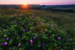 Morning at Osetr river valley (liseykina) Tags: morning summer sun flower sunrise landscape russia osetr tularegion gorodishe shuchiegorodishe