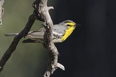 Grace's Warbler (Natures Joy Photography) Tags: arizona yellow tucson warbler graces rosecanyon mountlemmon passeriformes parulidae rosecanyonlake graceswarbler tucsonaudubonsociety grwa setophagagracias