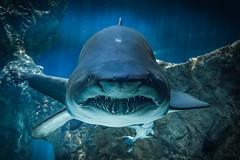 En el acuario (Hectordrums) Tags: madrid espaa zoo shark bull aquarius toro acuario casadecampo tiburn 70d 1585 spaincanon