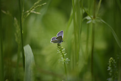 Small Blue3 (PhilDL) Tags: naturereserves martindown