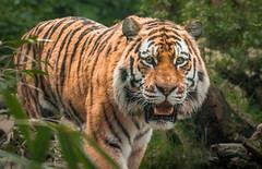 Tiger (Matt H. Imaging) Tags: ©matthimaging tiger mammel zoo amersfoort cat animal fauna sony slt sonyalpha slta55v a55 minolta minoltaaf100mmf28macro minolta100f28macro autofocus