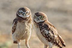 Burrowing Owl, juvenile (DeniseDewirePhotography) Tags: ca cute eyes owl davis juvenile burrowingowl
