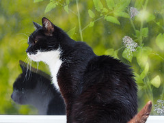Nasz ogrod   Unsere Garten (arjuna_zbycho) Tags: city pet cats pets flower cute animal animals cat blackcat austria sterreich kitten feline chat felix kitty blumen kittens tuxedo gato jasmin stadt tuxedocat rosen baden gatto katzen haustier koty kater niedersterreich rosengarten tier insekten kwiaty wienerwald miasto badenbeiwien thermenregion gattini rakousko hauskatze kurstadt luftkurort doblhoffpark biosphaerenpark flussschwechat rzekaschwechat