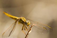 Dragonfly (juanmatruji) Tags: espaa andaluca dragonfly almera