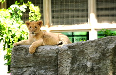 Toby Relaxes (Jay Costello) Tags: africa toby cat cub feline lion hunter simba predator lioncub babylion animalbabby