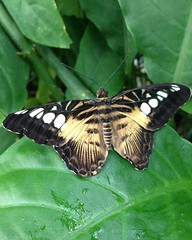 Open beauty (sharonhorning) Tags: black leaves butterfly waterdroplets damp yellowstripes whitespots