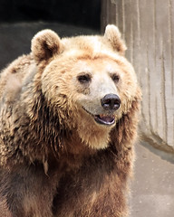 Portrait of Ezo Brown Bear (Johnnie Shene Photography(Thanks, 1Million+ Views)) Tags: bear wild portrait macro nature animal vertical standing canon lens wonder asian mammal photography zoo interesting natural zoom outdoor head wildlife bears sigma tranquility nopeople korea headshot apo telephoto seoul awe 70300mm halflength freshness dg  tranquilscene ursidae fragility f456 zoologicalpark colourimage  ezobrownbear  caniforms arctoidea eos600d rebelt3i kissx5 ezobear