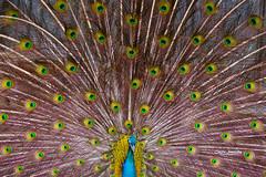 Peacock (nemi1968) Tags: canon canon5dmarkiii ef100400mmf4556lisiiusm markiii beak bird closeup feathers peacock peafowl pfugl specanimal